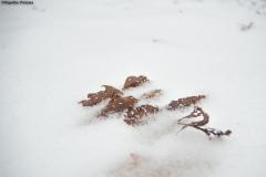 frunza acoperita cu zapada