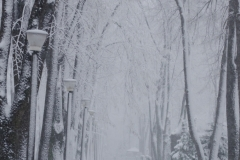 Copaci albi cu zapada