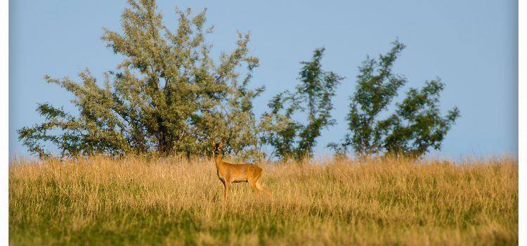 Natura salbatica la 3km de Vaslui! Vulpi si caprioare. (Video)
